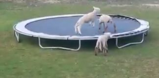 sheep trampoline