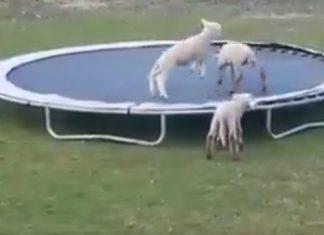 sheep trampoline