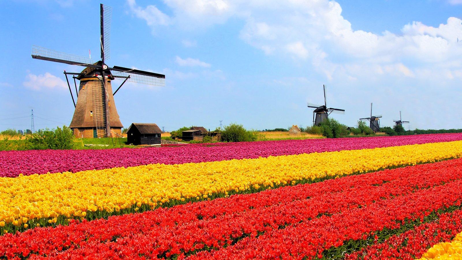 netherlands tulip fields