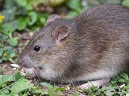 Rat Apocalypse NZ