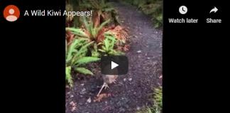 a wild kiwi appears